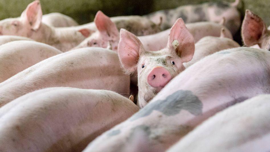 Ein konventioneller Schweinemastbetrieb (Symbolbild)