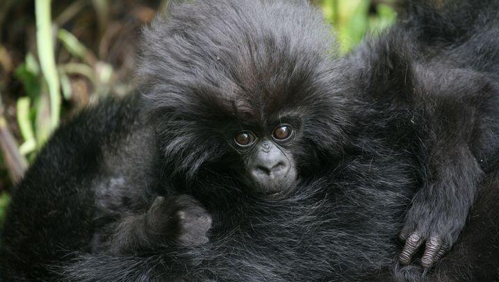 Menschenaffen: Gorillas aus dem Gebirgswald