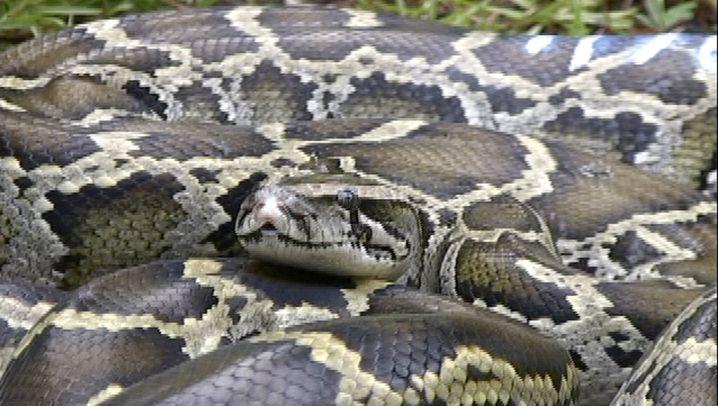 Pythons: Riesenschlangen-Invasion in den Everglades