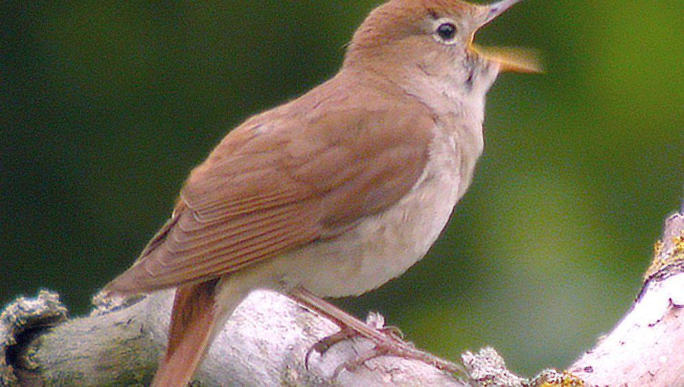 Auf der Spur der Nachtigall: Kleiner Vogel, große Fragen