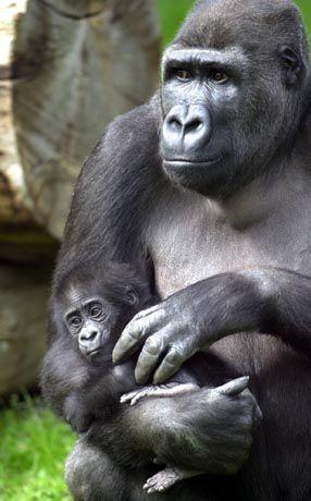 Gorillas: Im Nationalpark regelrecht abgeschlachtet