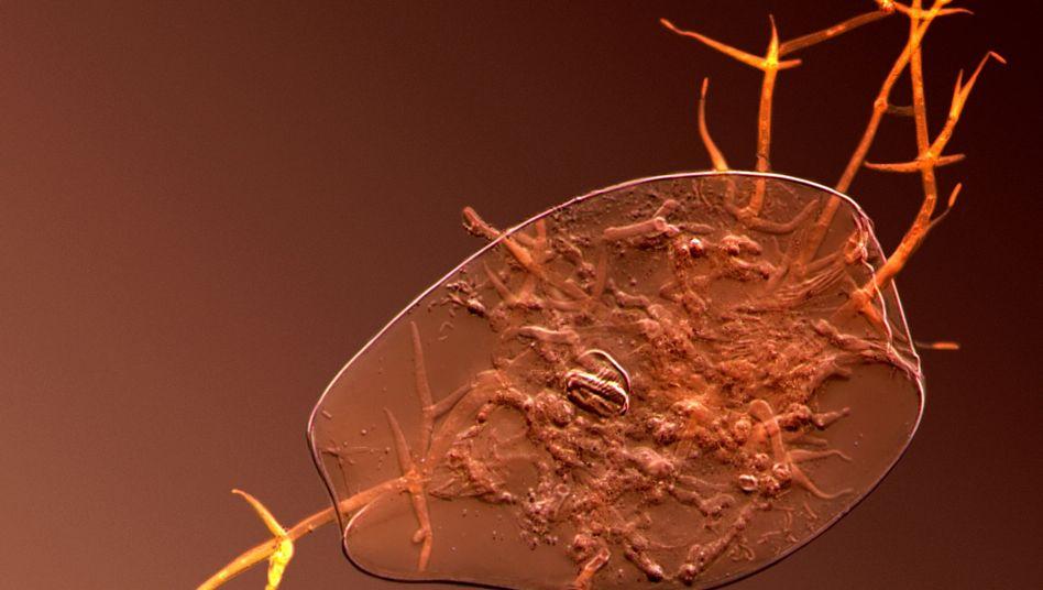 Rädertierchen unter dem Mikroskop: Vom Winde verweht