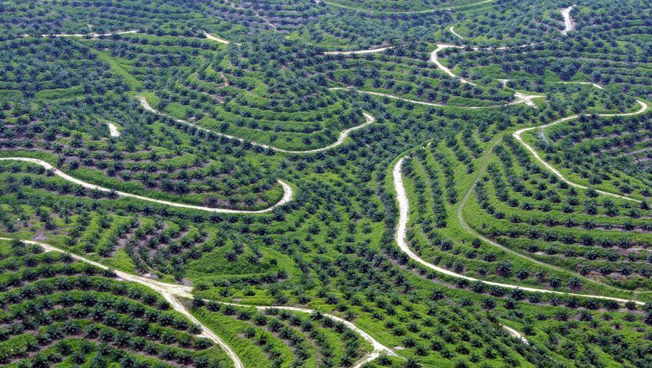 Palmölplantage in Indonesien im Jahr 2013: Der Lebensraum schwindet