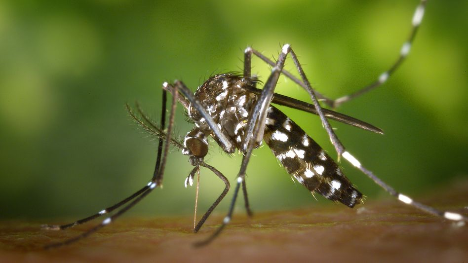 A female Asian tiger mosquito