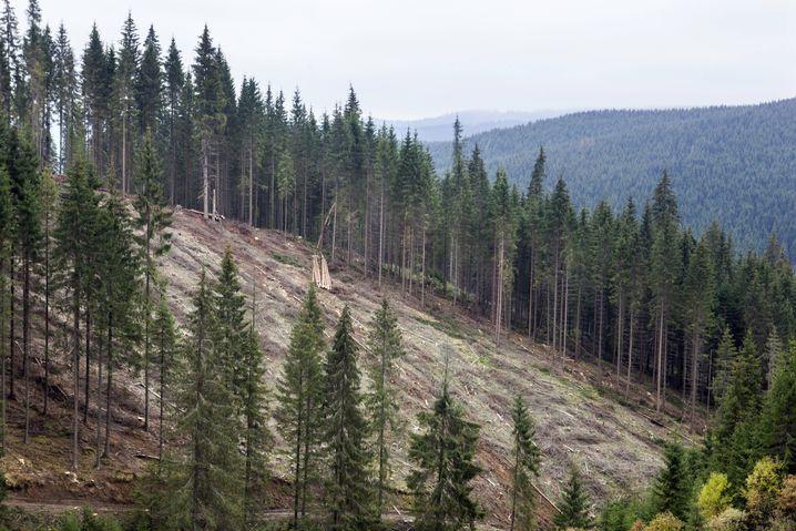 Kahlschlag: Holzabbau in Rumänien