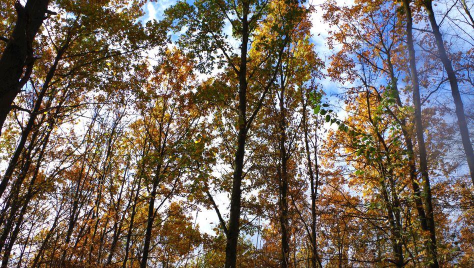 Der Hambacher Forst (Archivbild)