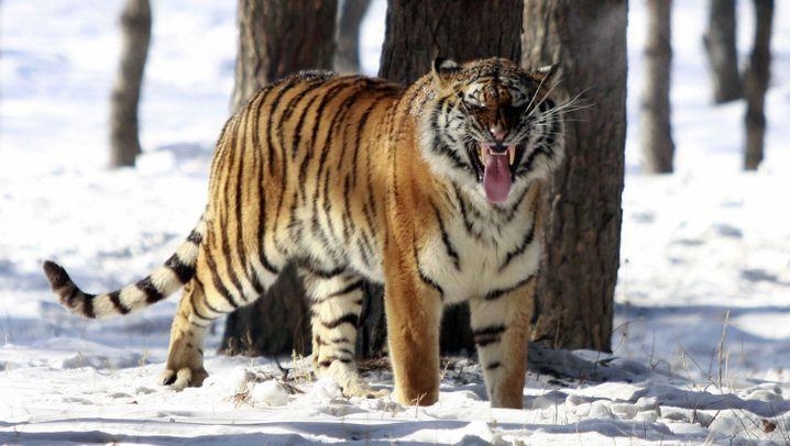Tiger und Leoparden: Das langsame Sterben der Großkatzen