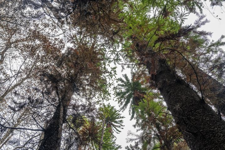 Wollemien: Die Bäume sind das ganze Jahr über grün