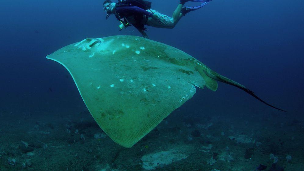 Rochen im Indischen Ozean: Geheimnisvolle Riesen