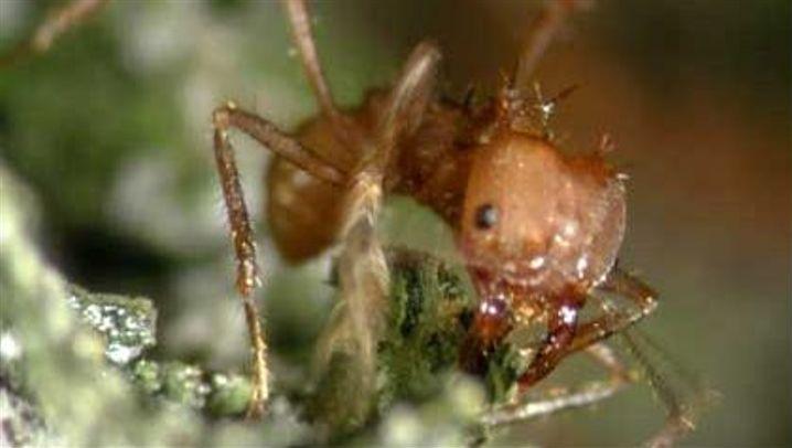 Ameisen: Pilzbekämpfer in der Rüstung