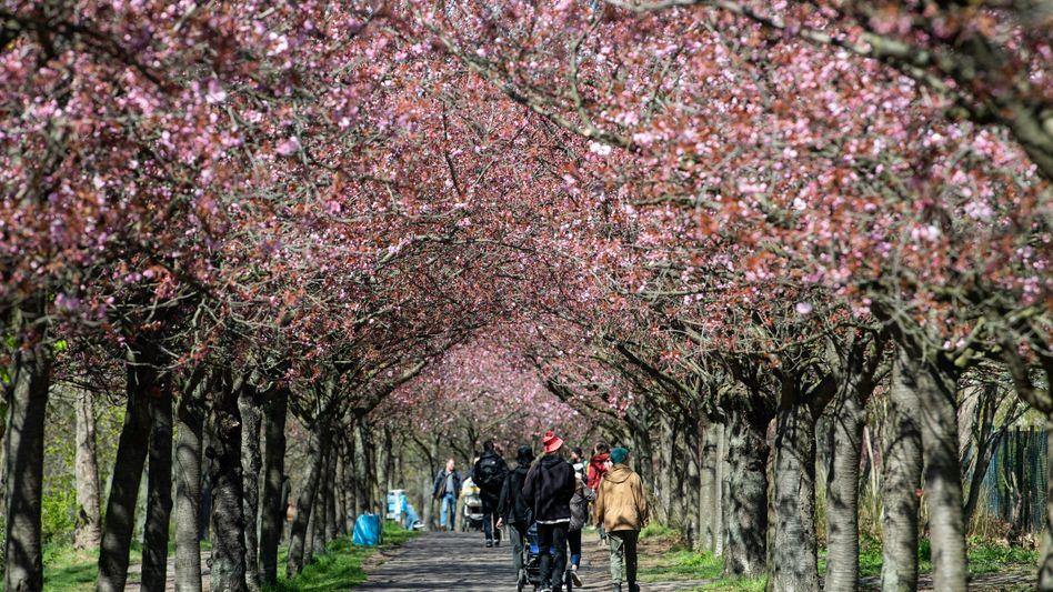 Blühende Kirschbäume entlang des ehemaligen Mauerwegs in Berlin