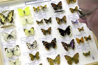 Sammlung von Schmetterlingen: Nur vier bis sechs Millionen Insektenarten?