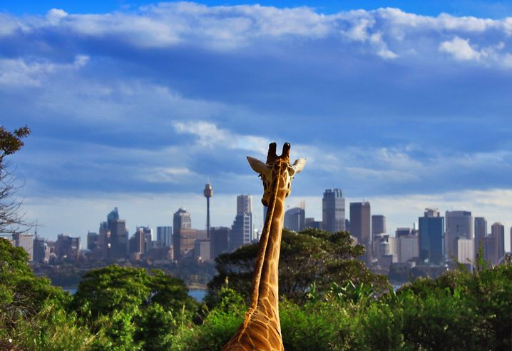 Giraffe im Taronga Zoo