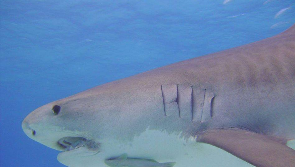 Hai: Anträge auf Handelsbeschränkungen für mehrere Hai-Arten abgelehnt