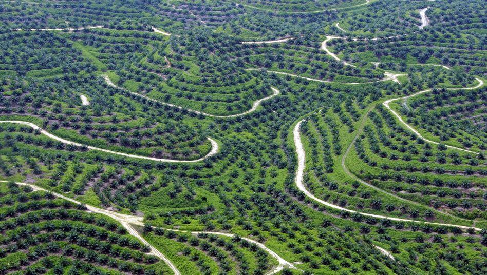 Für Palmölplantagen wird Regenwald abgeholzt - häufig illegal