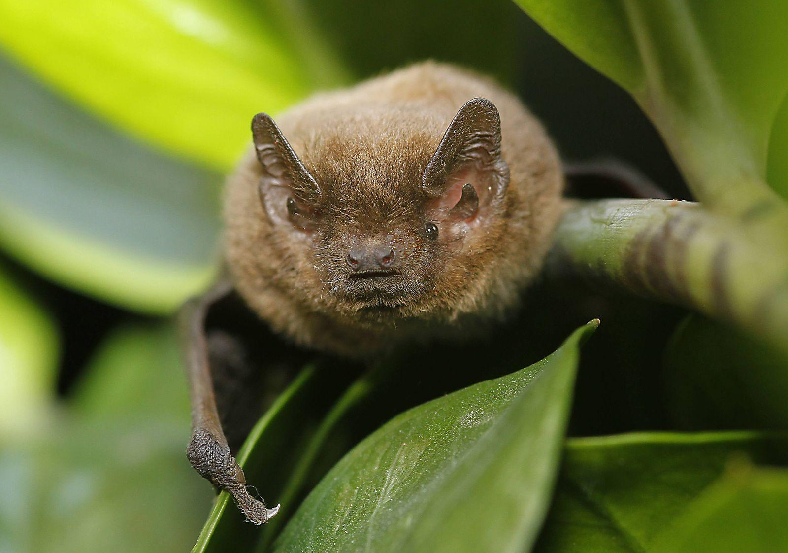 04 09 2014 Dessau die hochseltene Mückenfledermaus Pipistrellus pygmaeus quartiert sich in den S