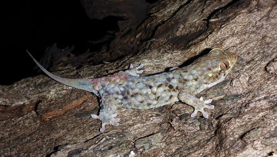 Geckos auf Madagaskar können bei einem Angriff blitzschnell ihre gesamte Haut abstreifen