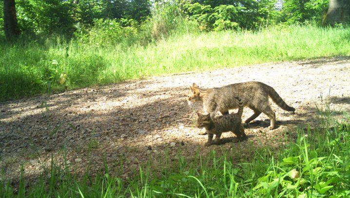 Wildkatzen: So scheu, so (ziemlich) selten
