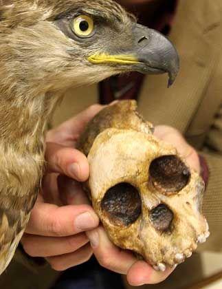 Schädel des Taung-Kinds: Angegriffen von einem Adler