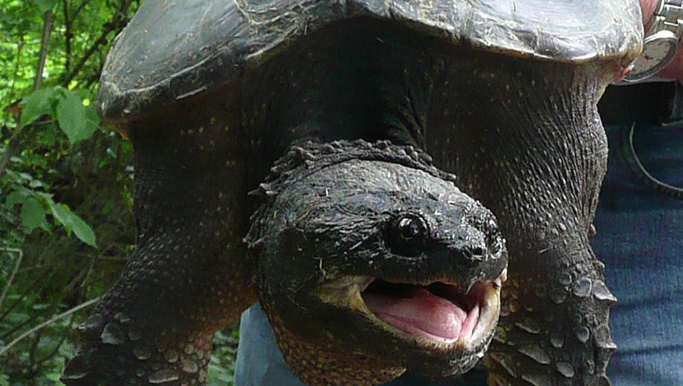 Photo Gallery: 'Monster' Turtle on the Loose in Bavaria