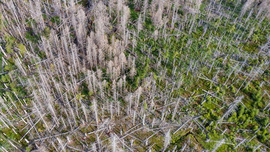 Monokultur in Wäldern: Von Borkenkäfern zerstörter Fichtenwald