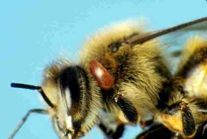 Varroamilbe auf Biene: Der Parasit schwächt die Tiere, aber was ist der unbekannte zusätzliche Faktor?