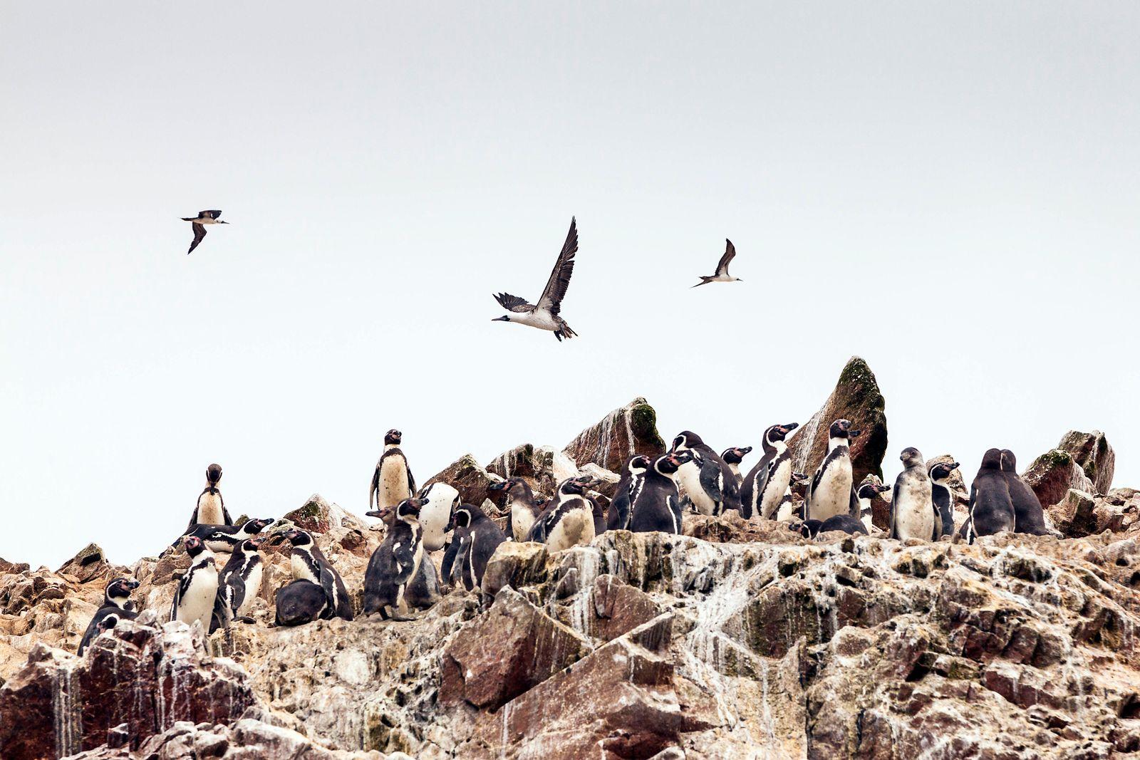 Humboldt Penguin (Spheniscus humboldti) and Peruvian booby (Sula variegata). Islas Ballestas, Paracas, Ica Region, Peru.