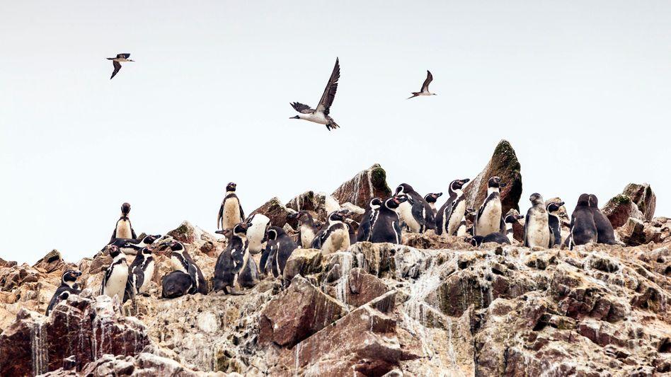 Pinguine in Peru: Der Kot ist nicht zu übersehen