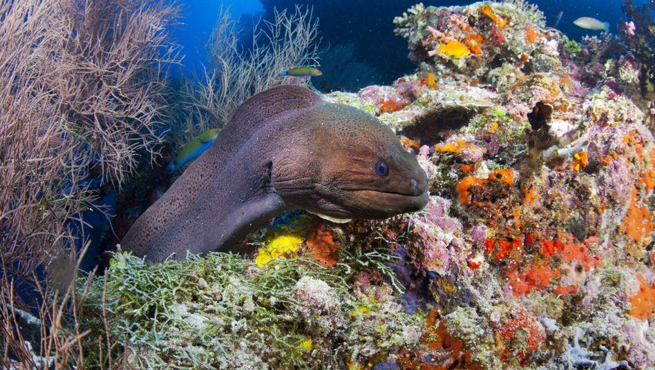 """Riesenmuräne im Roten Meer (Archivbild): """"Nicht bloß eine ökologische Rückversicherung"""""""
