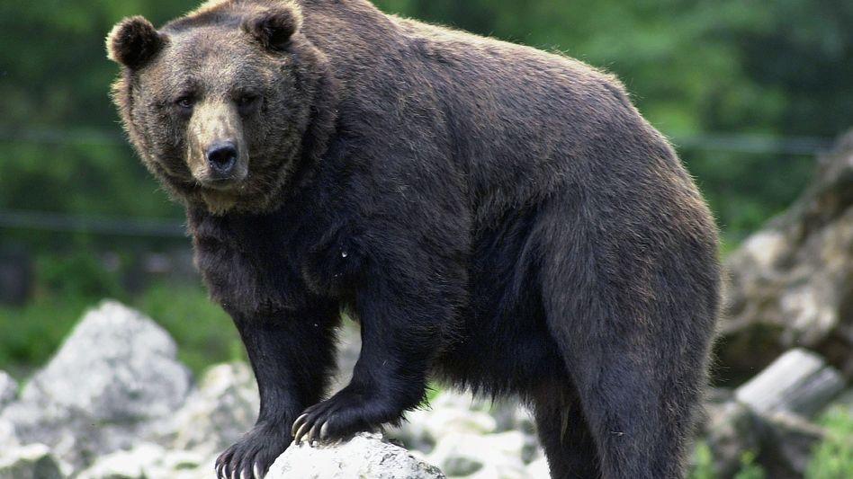 Braunbär (Symbolfoto)