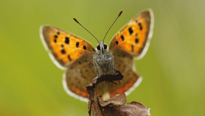 Schmetterlingsschwund in Europa: Armer Falter