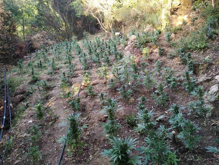 Die Cannabisplantage lag in einem Waldstück