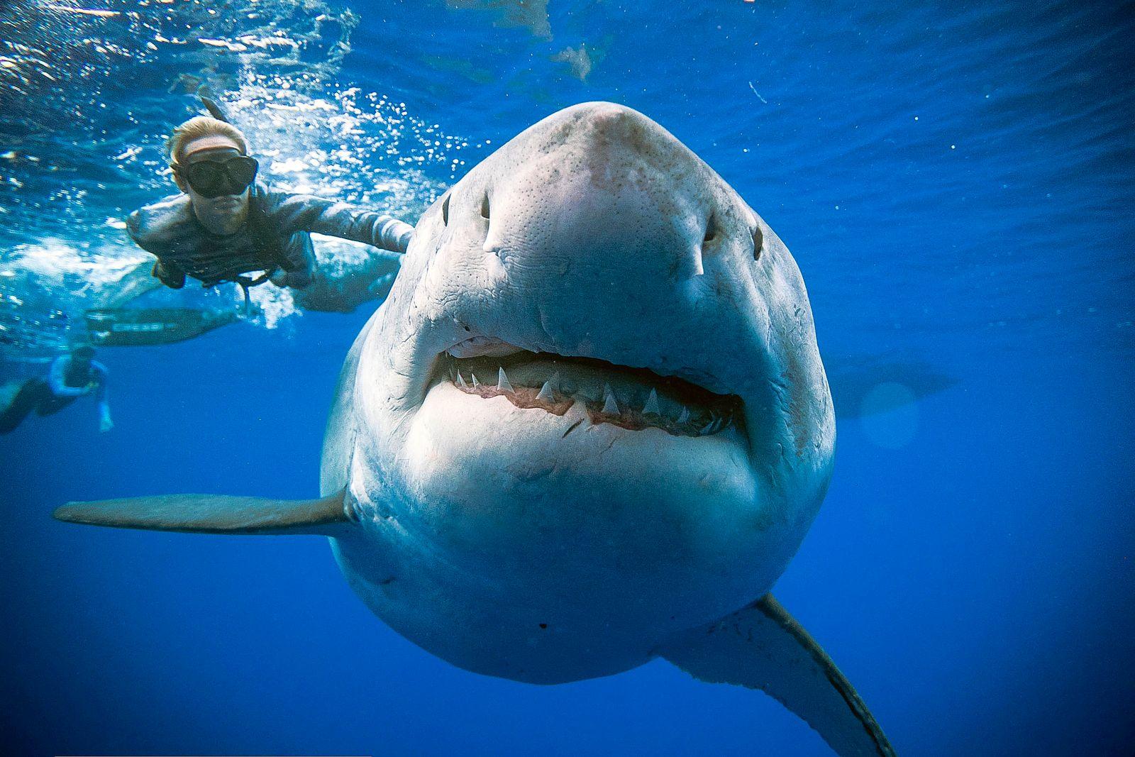 Riesiger Weißer Hai vor Oahu gesichtet