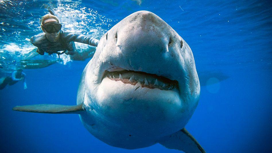 Weißer Hai vor der Küste der Insel Oahu, Hawaii (Symbolbild)
