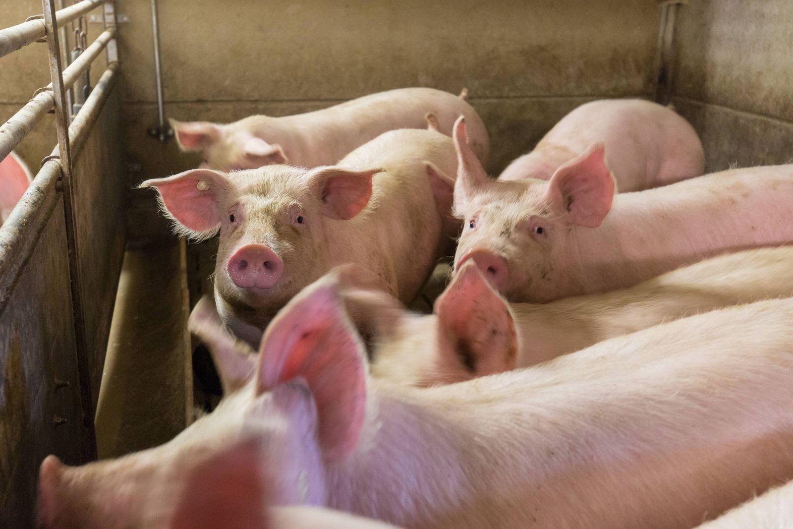 EINMALIGE VERWENDUNG Schweinestall