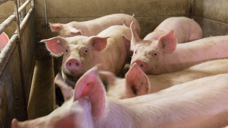Schweinemastbetrieb im Landkreis Dahme Spree