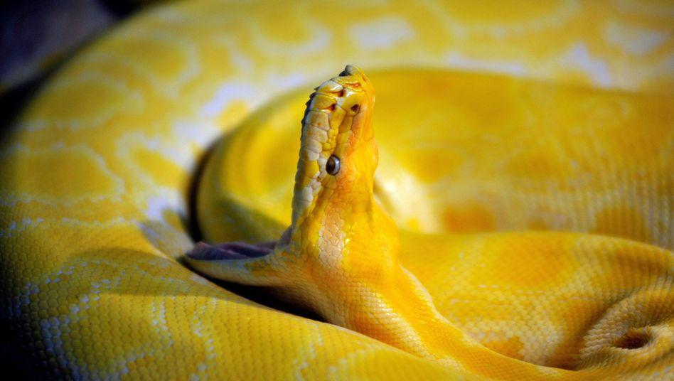 Burmesischer Python in einem chinesischen Zoo in Qingdao