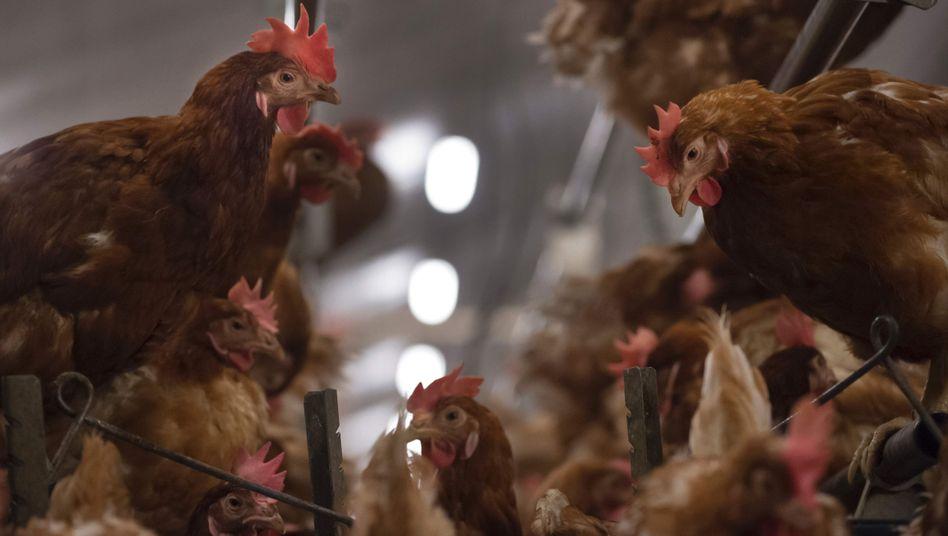 Hühnerfarm in Belgien