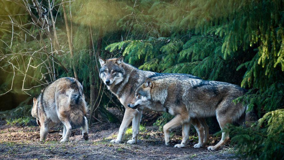 Wölfe im Wildpark Schorfheide in Brandenburg (Archiv): Ihr größter Feind ist der Mensch