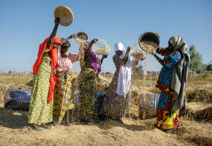 Women in Nigeria harvesting rice.