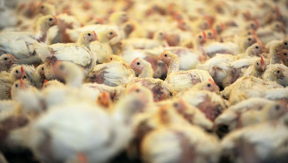 Hähnchenstall von Wiesenhof: Dank Gensoja acht Cent pro Huhn gespart