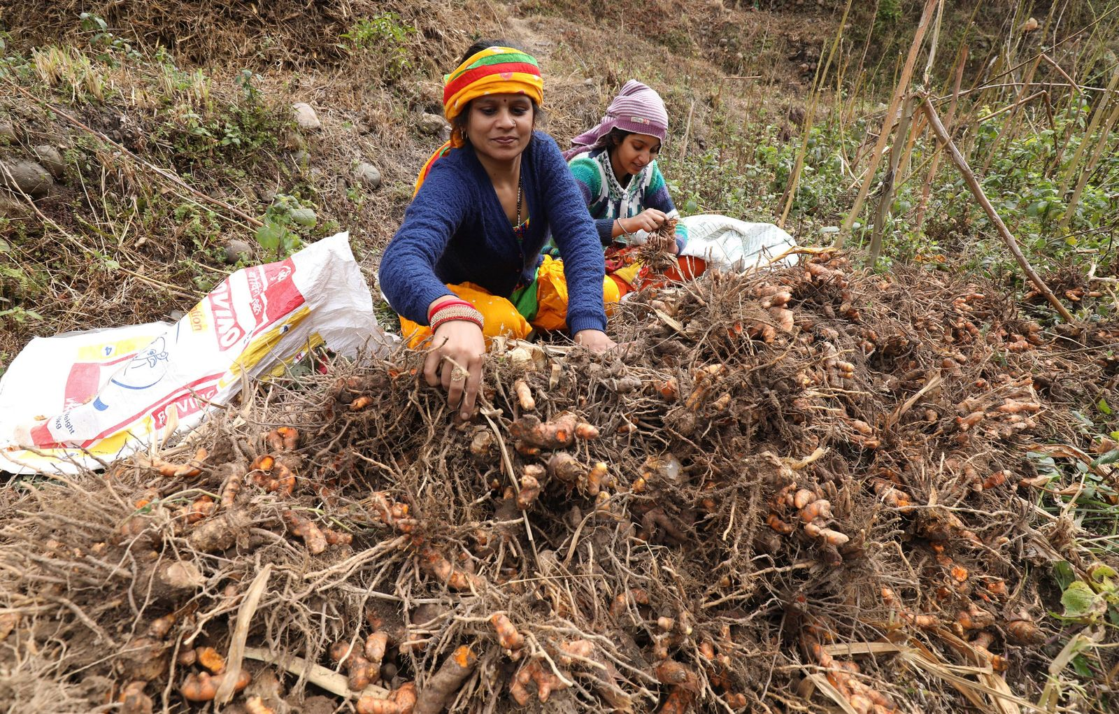 Turmeric harvest near Dharamsala, India, Jalot - 26 Nov 2020