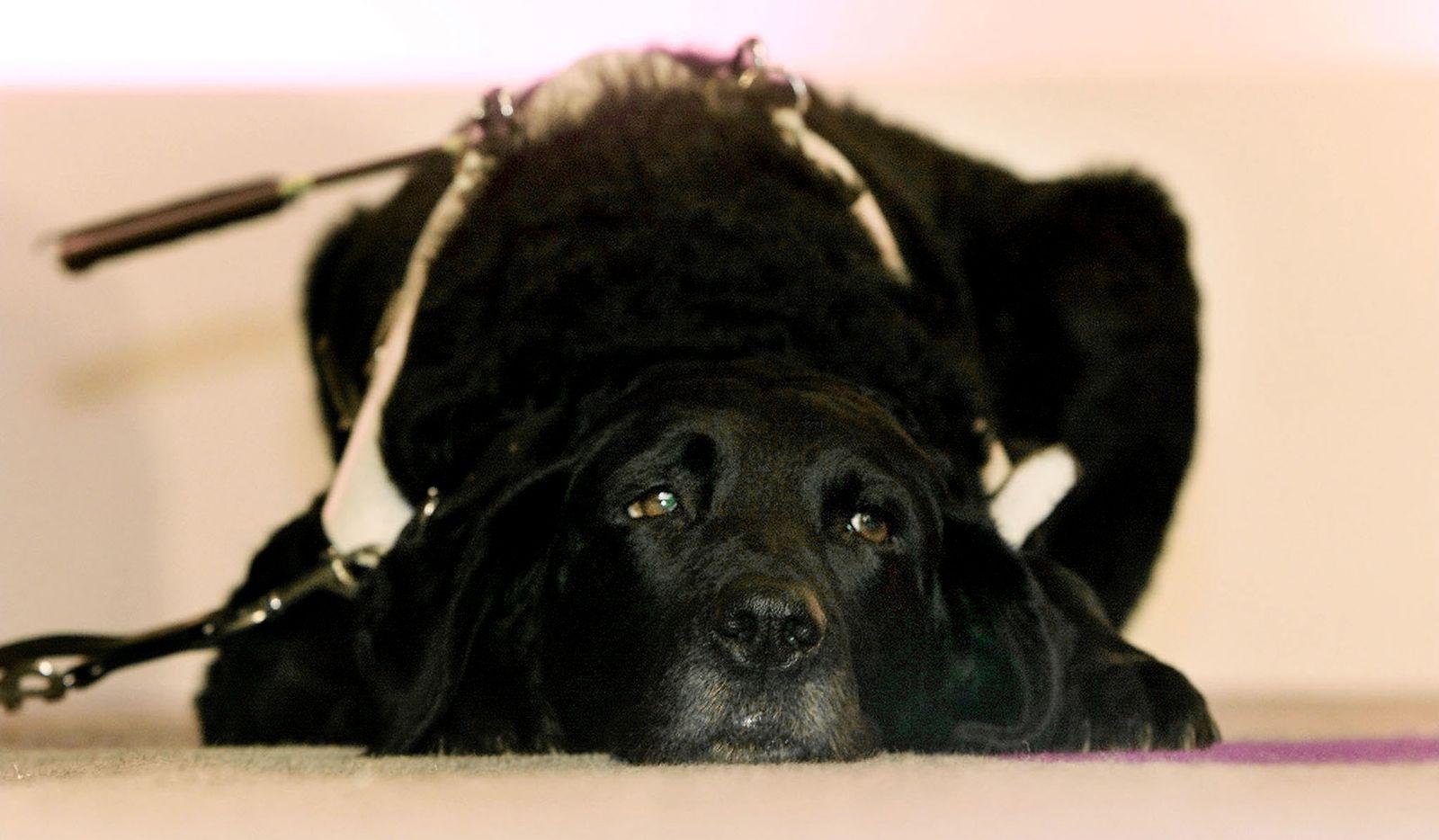 Symbolbild Blindenhund