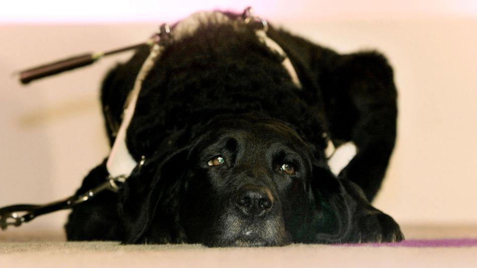 Unersetzlicher Helfer: Viele Blinde sind auf ihre Hunde angewiesen