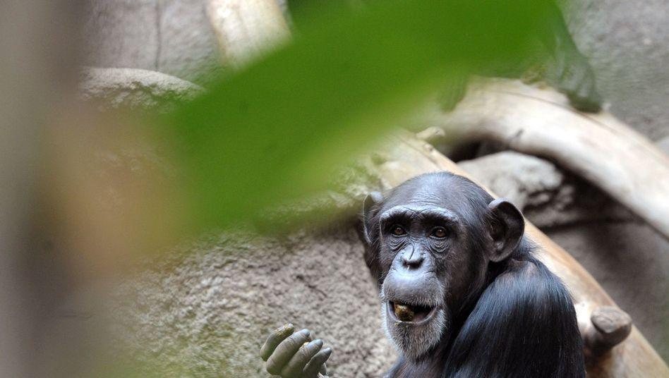 Frühaufsteher: Wenn es ums Fressen geht, scheuen Schimpansen die frühe Stunde nicht