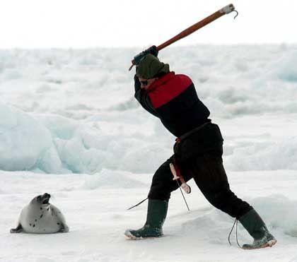 """Jagd auf Robben: """"Die fühlen nichts"""""""