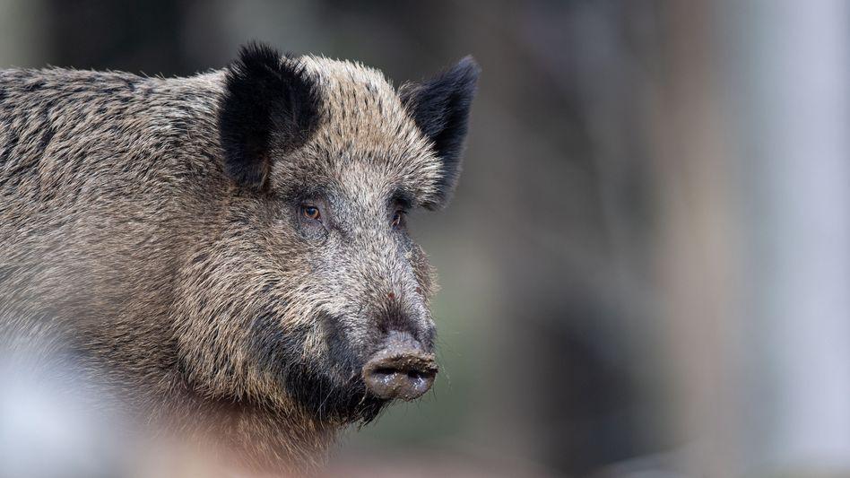 Wildschwein (Symbolbild): Ein verunreinigter Schuh reicht aus, um die Afrikanische Schweinepest weiterzutragen
