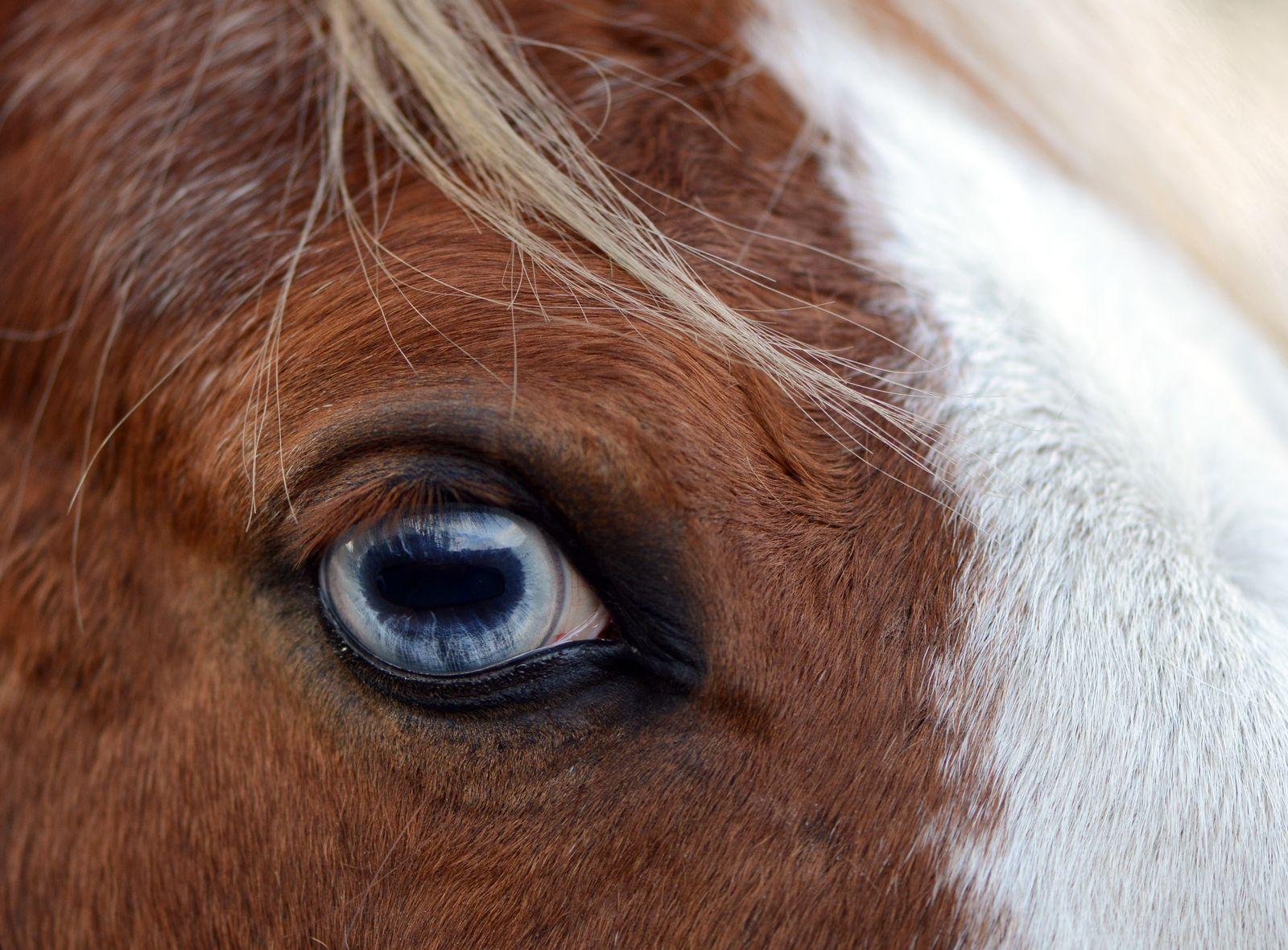 Tieraugenquiz/ Pferd