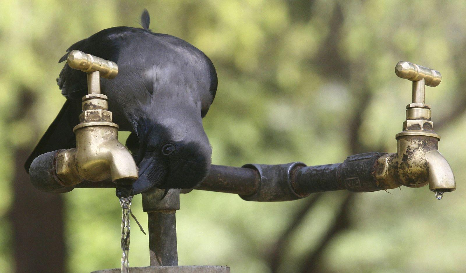 Krähe / Indien