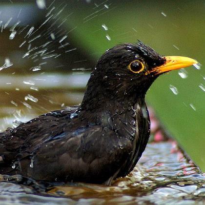 """Eine Amseln beim Baden: Per Klingelton sollen die Vögel Beetvoens """"Ode an die Freude lernen"""""""